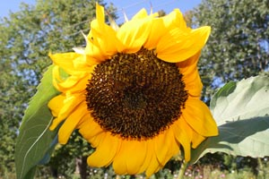 Sunflowers for Kids to be held Sunday Sept. 3